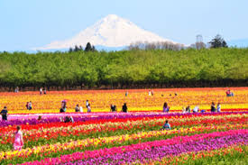 wooden shoe tulip farm clackamas county oregon a awesome show