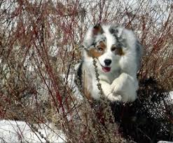 running with australian shepherd puppy australian shepherd dog breed information and pictures