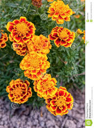 yellow and orange marigold flowers in the garden stock photo