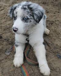 australian shepherd and border collie blue border collie puppy carla a house is not a home without a