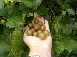 triumph muscadine ison u0027s nursery u0026 vineyard