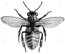 an antique engraved illustration of a bee from below created