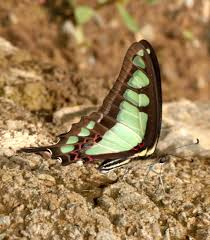 growing more butterflies in south east queensland gecko hills to wildlife and nature