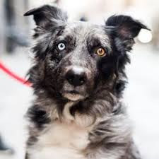 australian shepherd upstate ny cher is back on the charts with u0027woman u0027s world u0027 of shelters and