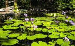 golden pond water plants placergrown