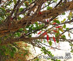 botanical family fouquieriaceae toptropicals