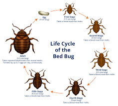 Massachusetts How Do Bed Bugs Travel images Bed bug facts a1 exterminators bed bug control lynn ma png