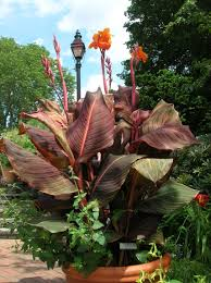 canna lilies how to grow canna lilies growing and caring for canna lilies