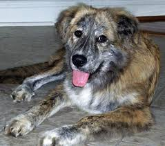 australian shepherd hound mix mix breed puppy help identifying what mix he is