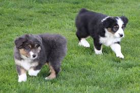 australian shepherd 4 weeks old chynna x mr wilkins 2015 ridgestar aussies miniature