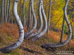 Colorado forest images Twisted aspens uncompahgre national forest colorado colorado jpg