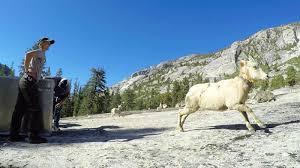 California mountains images Big horn sheep reintroduced into california mountains jpg