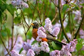 robins building nests james 4 3 bird brains lilac bushes