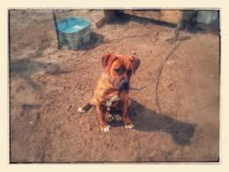 boxer dog quebec boxer adopt local dogs u0026 puppies in ottawa gatineau area