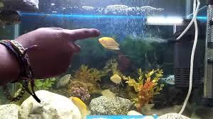 types of aquarium aquarium fish feeding the fish types of fishes youtube