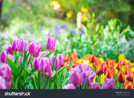 colorful flower gardens colorful tulip garden spring stock photo 371088248 shutterstock