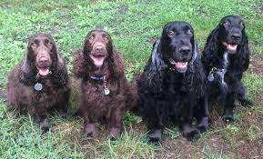 bluetick vs english coonhound breed spotlight living with a field spaniel american kennel club
