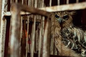 harry potter may have sparked illegal owl trade in indonesia