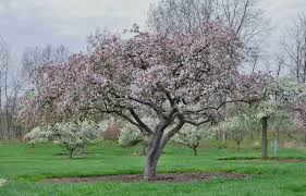 why crabapple isn t flowering reasons for no flowers on crabapple