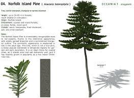xfrogplants norfolk island pine xfrog com