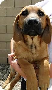 belgian malinois breeder california buddy adopted puppy corona ca basset hound belgian malinois mix