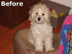 yorkie poo haircut mulberry farm s dog grooming exles