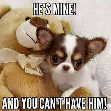 Funny Chihuahua Memes - said the bear chihuahua chihuahuadaily teacupdogs
