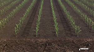 irrigated corn subsurface drip irrigation for corn by netafim youtube
