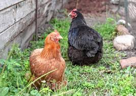 Chickens For Backyard Raising Backyard Chickens Is Deeply Rewarding For Lattanzis