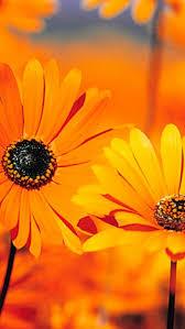 flower wallpaper for nokia x orange flower iphone 5 hd backgrounds