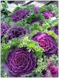 grow kale ornamental kale gardening