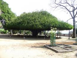 panoramio photo of lisboa botanic garden special tree