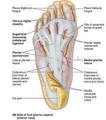Calcaneus Anatomy 011b Dorsum And Plantar Aspect Of Foot Anatomy Flashcards