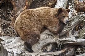 Animal Planet Documentary Grizzly Bears Full Documentaries - why fat grizzlies don t get diabetes like we do shots health