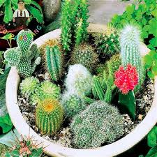 100 pcs mixed cactus seeds indoor multifarious ornamental plants