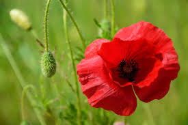 free stock photo of flower nature red poppy