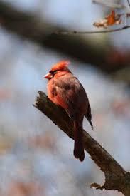 Cardinal Bird Home Decor by 1318 Best Cardinals Images On Pinterest Cardinals Animals And