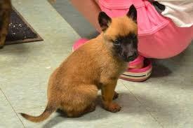 belgian malinois puppies for sale 2016 belgian malinois puppies