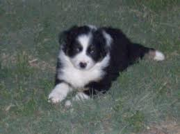 australian shepherd x puppies for sale australian shepherd puppies in texas