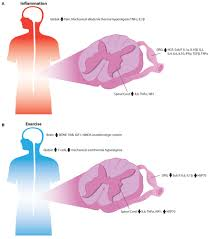 frontiers emerging relationships between exercise sensory