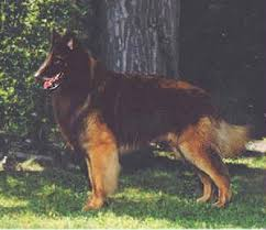 belgian shepherd dog shadanatam belgian shepherd dogs