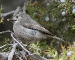 different species of titmouse birds titmice common birds of