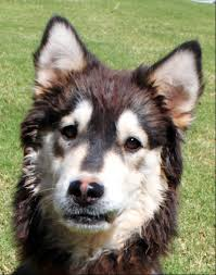 australian shepherd schnauzer mix yuno husky mix m a i n medical animals in need dog rescue