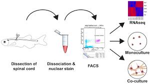 Introduction Of A Novel System For In Vitro Analyses Of Zebrafish