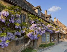 Purple Flower On A Vine - purple flowering wisteria on a cotswold stone house wall in the