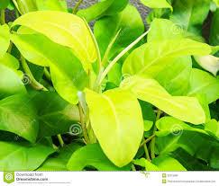 araceae philodendron cv lemon lime stock photo image 32315080