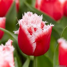 fringed tulip bulbs new santa american meadows