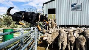Bench Kelpie Puppies Sale Australian Kelpie Breed Profile Australian Dog Lover