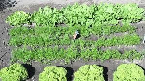 kitchen garden vegetable garden with rows of vegetables stock