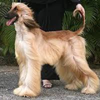 afghan hounds for adoption afghan hound rescue u2015 animals for adoption u2015 rescueme org